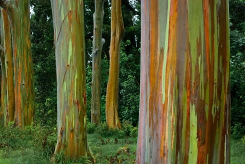 Rainbow Eucalyptus Trees in Kailua, Hawaii